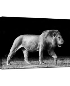 31359-Canvas-75x100-Walking-Lion